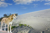Sand dunes and dingo on  fraser Island — Stock Photo