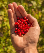 Red berries in hand — Stock Photo