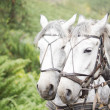 Team of dapple grey horses — Stock Photo