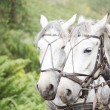 Stock Photo: Team of dapple grey horses