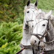 Matched pair of grey horses — Stock Photo