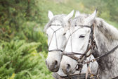 Team of dapple grey horses — Stok fotoğraf