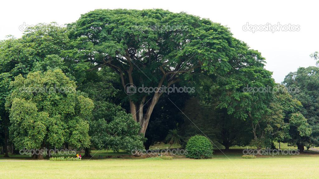 Beau grand arbre dombrage vert photographie vaicheslav for Arbre d ombrage croissance rapide