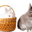 Two adorable pet rabbits — Stock Photo