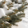 Winter snow on pine branches — Stockfoto