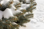 Winter snow on pine branches — Stock Photo