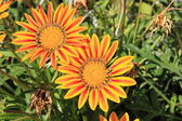 Gazania flowers — Stock Photo