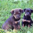 Two cute puppies - Stock Photo