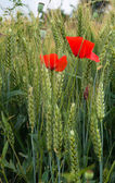 Poppies and wheat on the green field — Stok fotoğraf
