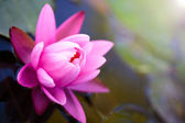 Lotus flower background — Stock Photo