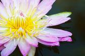 Růžový lotosový květ — Stock fotografie