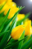 Yellow tulip flower background — Stock Photo