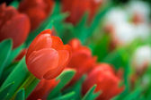 Red Tulip Background — Stock Photo