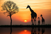 Silhouette of giraffe with reflection in water — Stock Photo