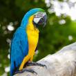 Macaw sitting on branch — Stock Photo