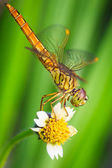 Dragonfly on flower — Stock Photo