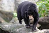 Niedźwiedzie malezyjska słońce — Zdjęcie stockowe