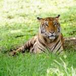 Bengal tiger — Stock Photo #26861675