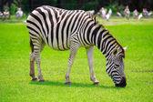 A Zebra — Stock Photo