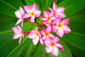 Branch of pink flowers frangipani plumeria — Stock Photo