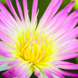 Closeup yellow pollen of the pink lotus — ストック写真