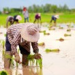 Asian farmers working on rice filed — Stock Photo
