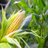 Corn on the stalk in the corn field — Stock Photo