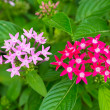 Pink & Red Star Cluster Flowers — 图库照片