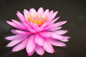 Pink lotus flower blossom in the pool — Stock Photo