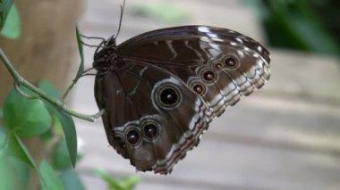 Butterfly Blue Morpho flies away — Stock Video