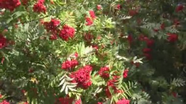 Wind, red berries and green foliage — Stock Video