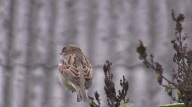 Sparrow flies off the lilac bush — Stock Video