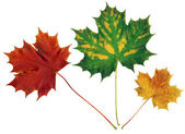Red,green and yellow maple leaves — Stock Photo