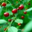 Close up of cherry fruits on a tree — Stock Photo #24871695