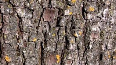 古い木の樹皮の背景、カメラを上に移動します。 — ストックビデオ