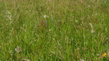 Uncut grass background — Stock Video