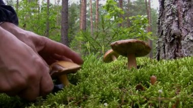 Blueing bolete mushroom picking in the forest — Stock Video