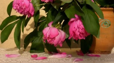 Wilting peonies in a jar — Stock Video