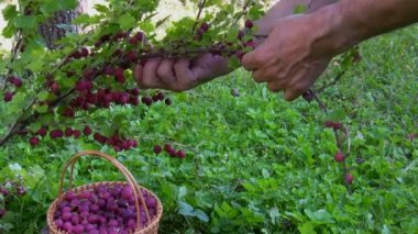 Picking berries — Stock Video