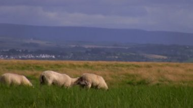Sheep in the hills — Stock Video