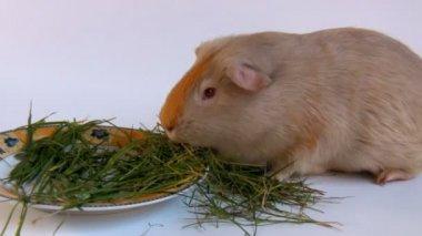 Guinea pig eating grass — Stock Video