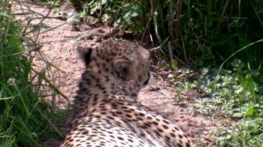 Cheetah avkopplande — Stockvideo