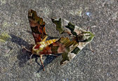 Moths mating on concrete floor — Stock Photo