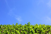 Green hedge and blue sky background — Stock Photo