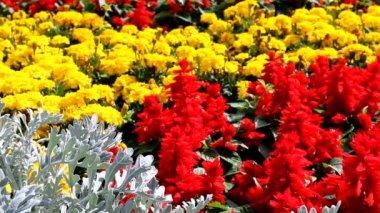 разноцветные цветки крупным планом — Стоковое видео