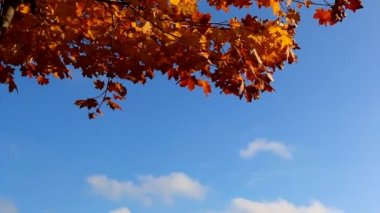 Orange leaves, blue sky — Stock Video