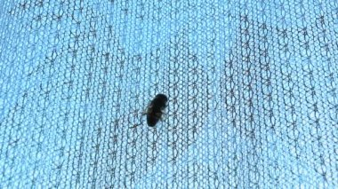 Wasp crawling up the curtain — Stock Video
