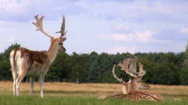 Fallow deer relaxing — Stock Video