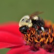 Bee and Flower — Stock Photo #12573126