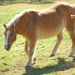 Stock Photo: Haflinger Pony